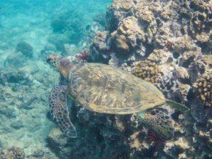 Maui - Turtle