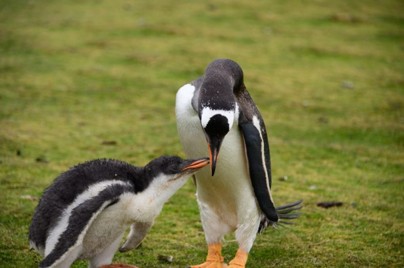 Gentoo penguin feeding the baby
