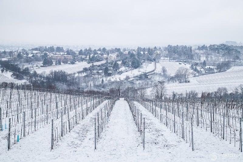 Plantações de vinho em Kahlenberg no inverno com neve