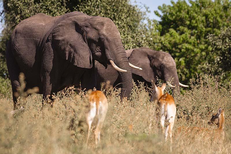 Elefantes no Parque Nacional de Chobe, Botswana