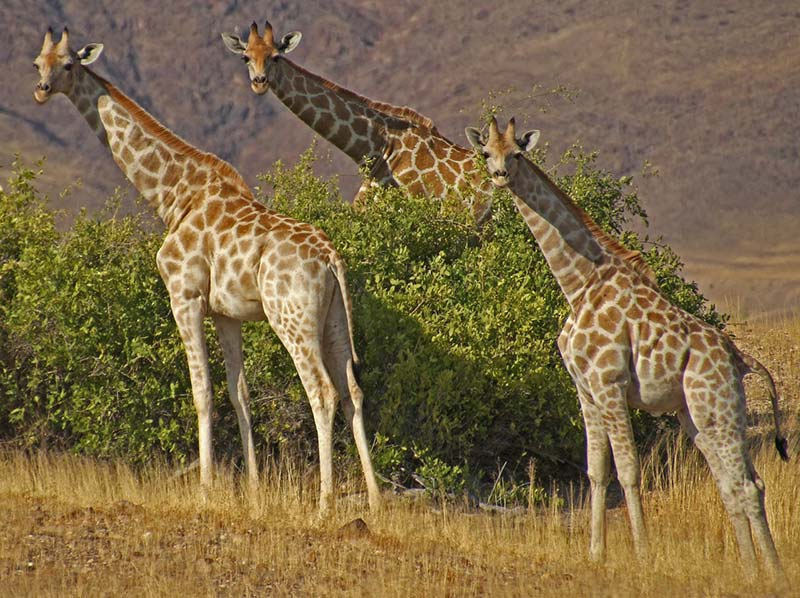 Girafas no Parque Nacional Etosha