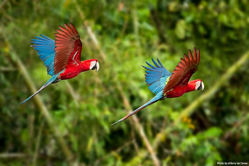 Araras vermelhas e verdes em voo