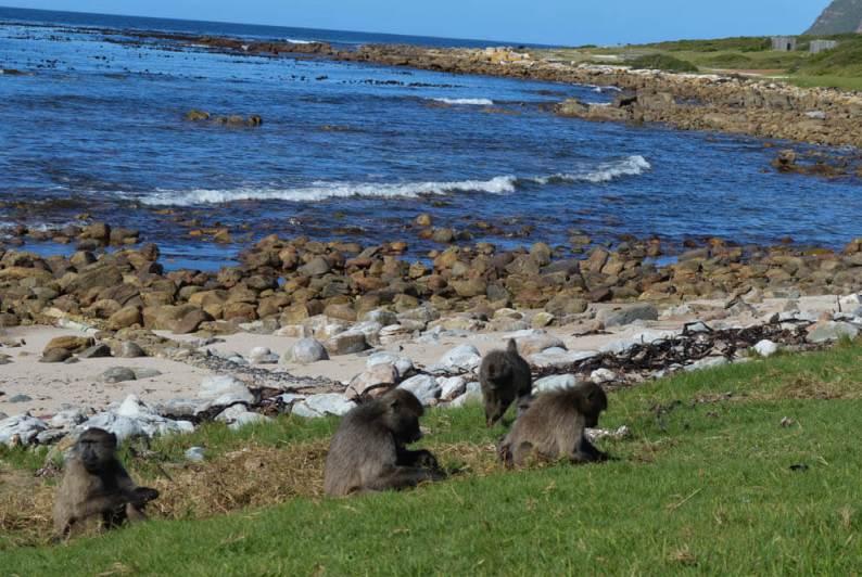 Buffels Bay - Zuid-Afrika - Baboons