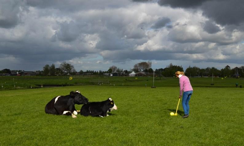Klompengolf tussen de koeien