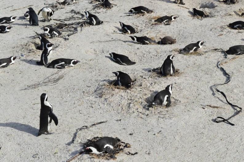 Pinguins - ZuidAfrika