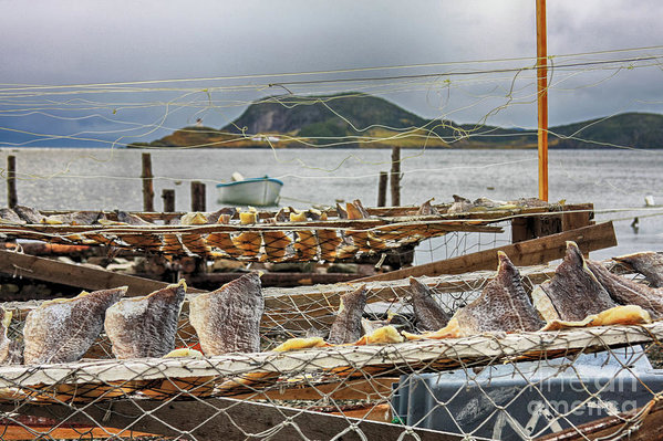 Fish Drying in Salvage Newfoundland