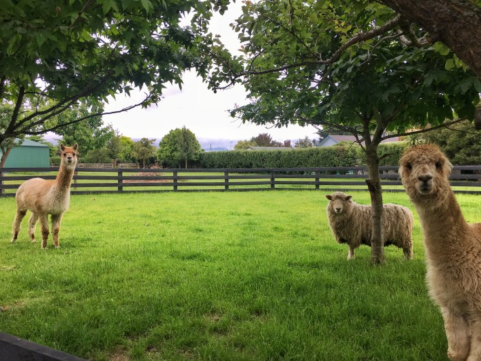 alpacas renwick marlborough