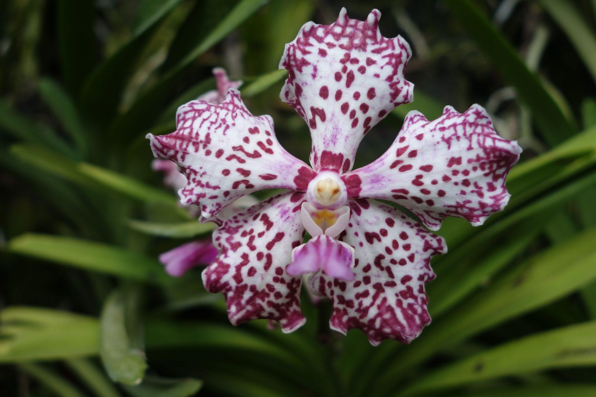 Singapur_BotanicGardens_5_Orchideen