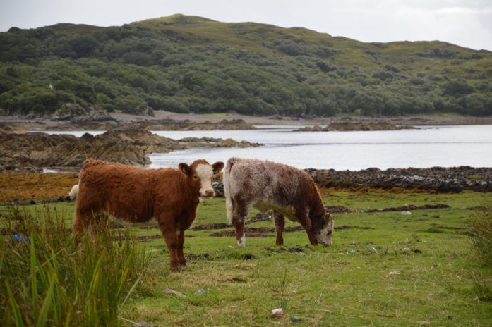 Cows, Isle of Skye, Scotland