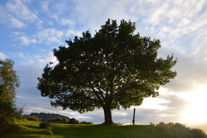 Tree, Dornie, Scotland