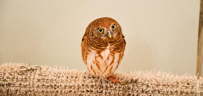 Owl at Akiba Fukurou owl cafe, Tokyo, Japan