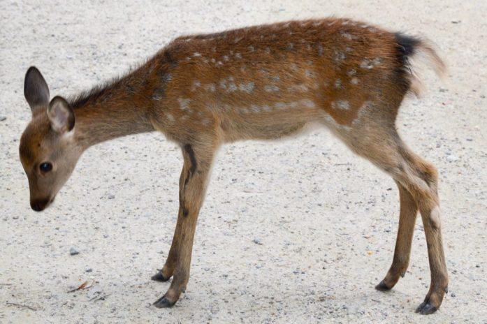 Baby deer, Nara, Japan