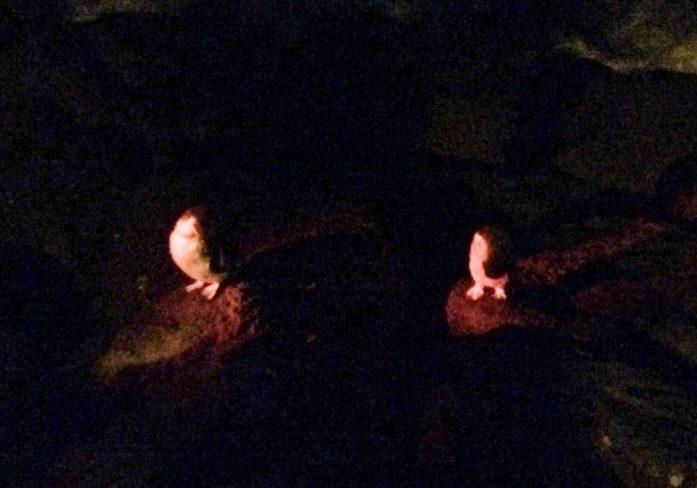 Fairy penguins, St. Kilda, Melbourne, Australia