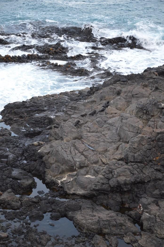 New Zealand Fur Seals, Otago Peninsula, New Zealand