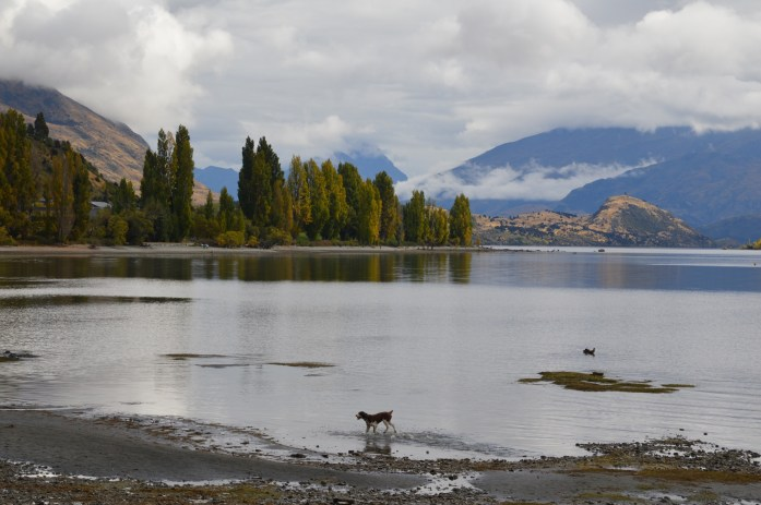 Dog playing in Lake Wanaka, New Zealand