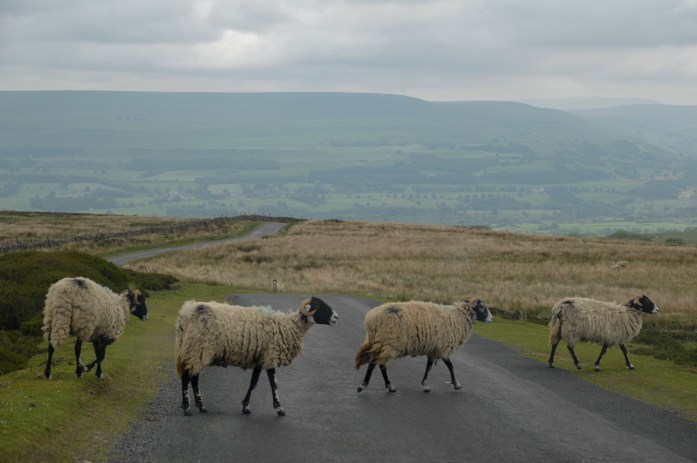 Sheep, Yorkshire Dales, UK