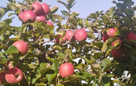 Australia_fruit_picking