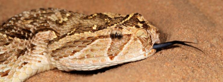 The Puff Adder   Wildlife Guide