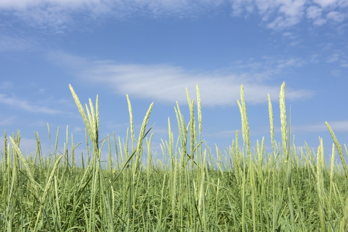 Orkney_Scotland_grass_and_sky