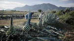 Harvesting agave plants in Mexico for Mezcal Amores