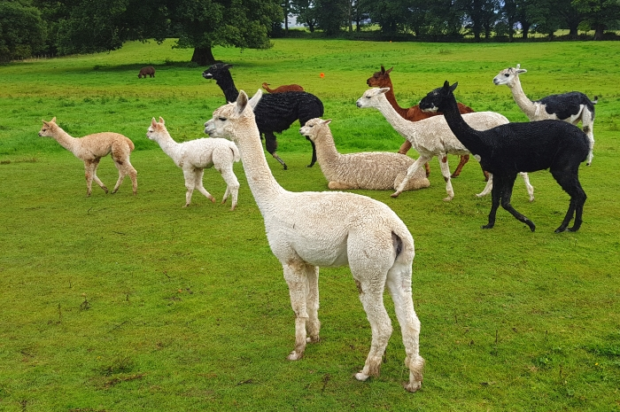 Alpacas at the award-winning Lakes Distillery in Cumbria,