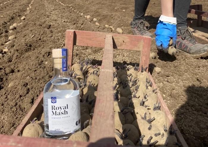 Picking potatoes to make Royal Mash Vintage Vodka