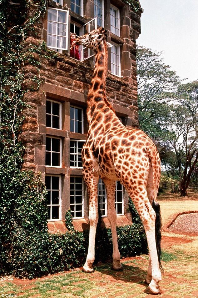 Giraffe manor house (2)
