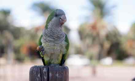Monk parrot of Fuerteventura