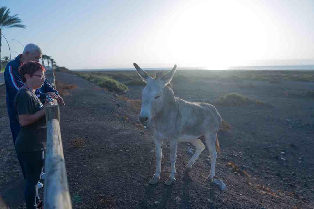 Majorera donkey with the sun setting
