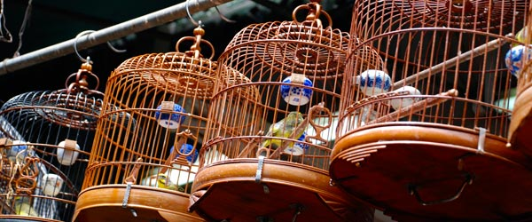 Singing birds in antique wooden cages at the Yuen Po Street Bird Garden.