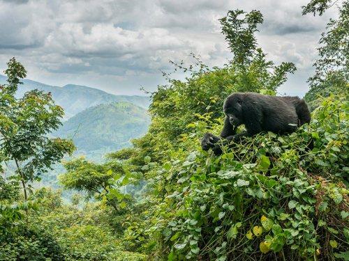 Gorilla Trekking Safari bwindi impenetrable forest National park