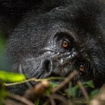 Gorilla Tracking in Bwindi Impenetrable Forest National Park