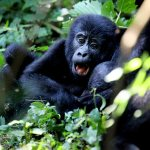 Uganda Top Destinations - Gorilla Tracking in Bwindi Impenetrable Forest National Park