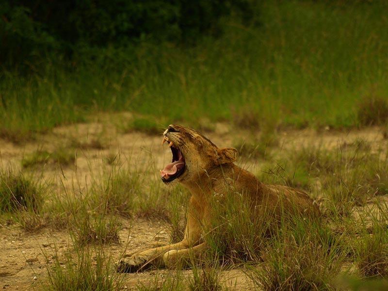 QENP Hungry Lion - Queen Elizabeth National Park Safari Tour