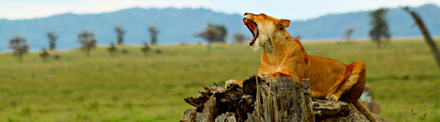Lioness in Serengeti - Tanzania Tour Destinations and Safari packages