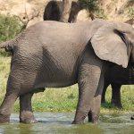 African Elephant in Rwenzori View Queen Elizabeth National Park Safari