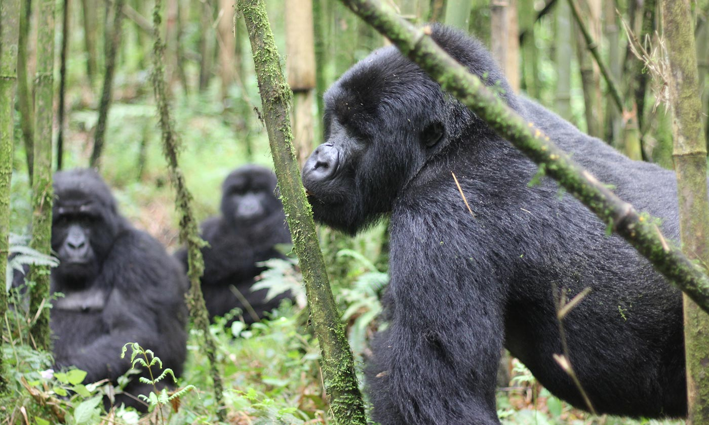 Trekking the virunga mountain gorillas