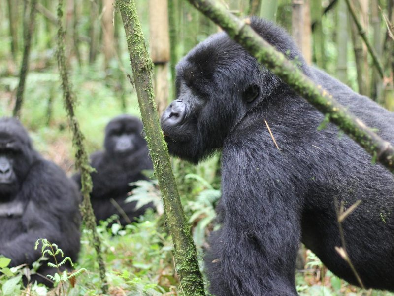 Trekking the virunga mountain gorillas