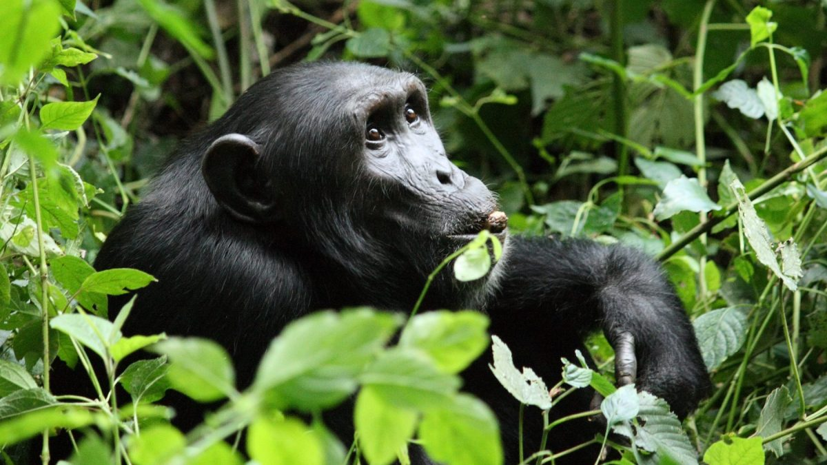 Chimp habituation Kibale