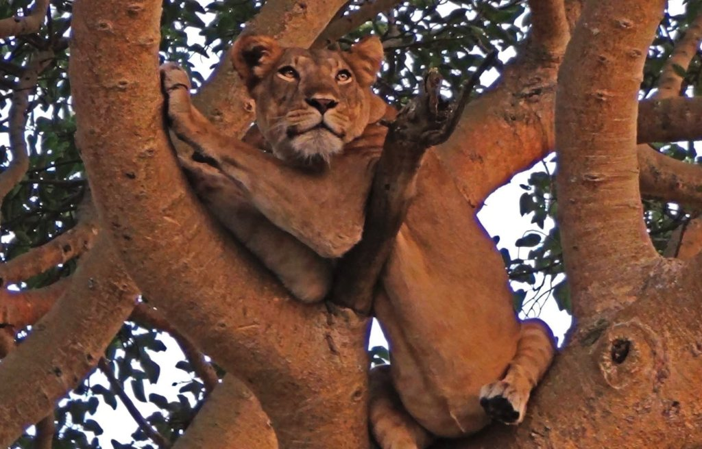 tree climbing lion in ishasha