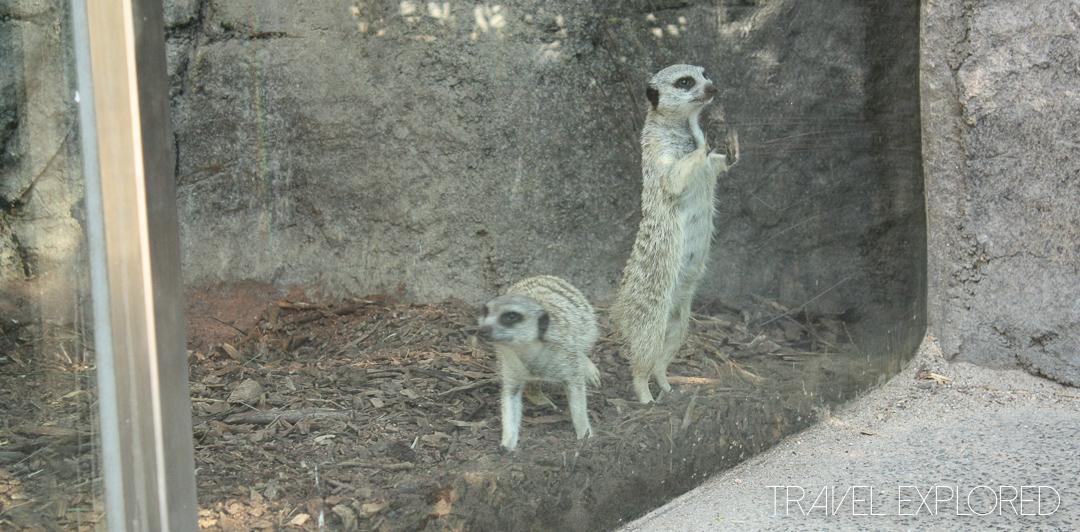 Melbourne Zoo - Meerkat
