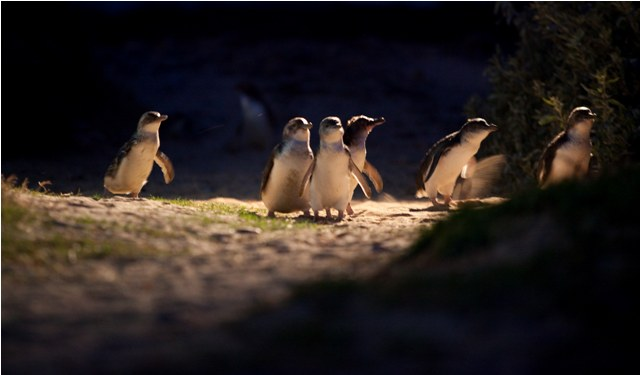 Little Penguins are heading to their nests