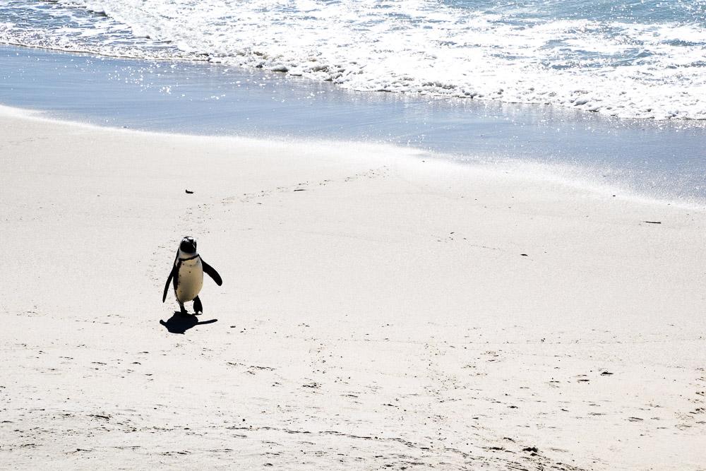 one little african penguin