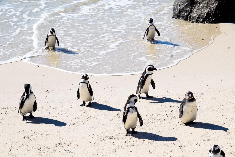 cute penguins on the beach