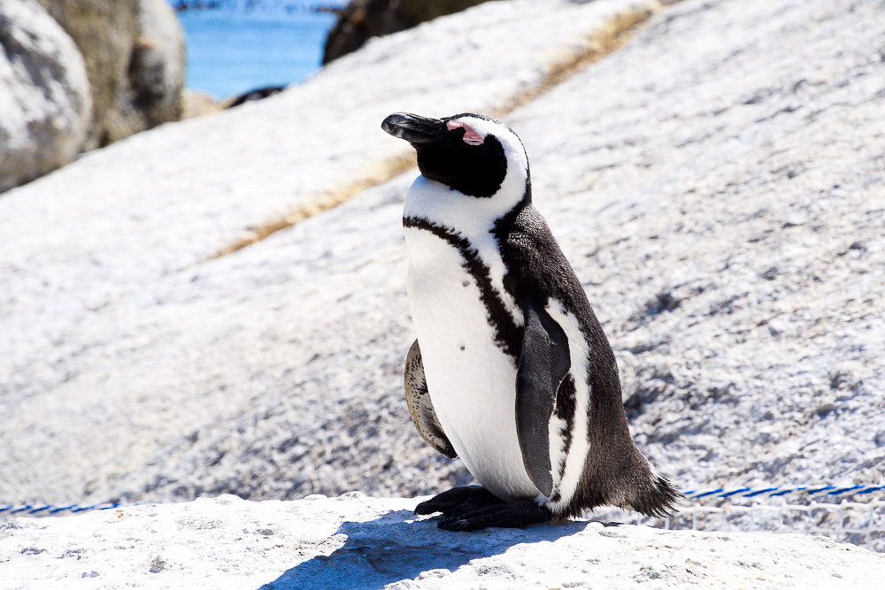 african penguin chilling