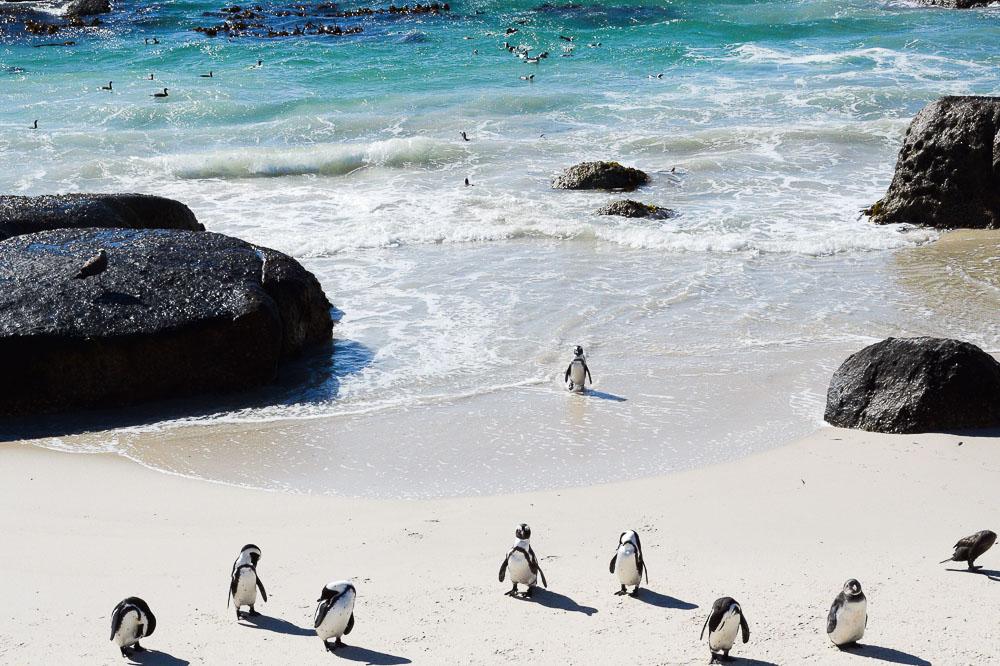 little penguins in simon's town