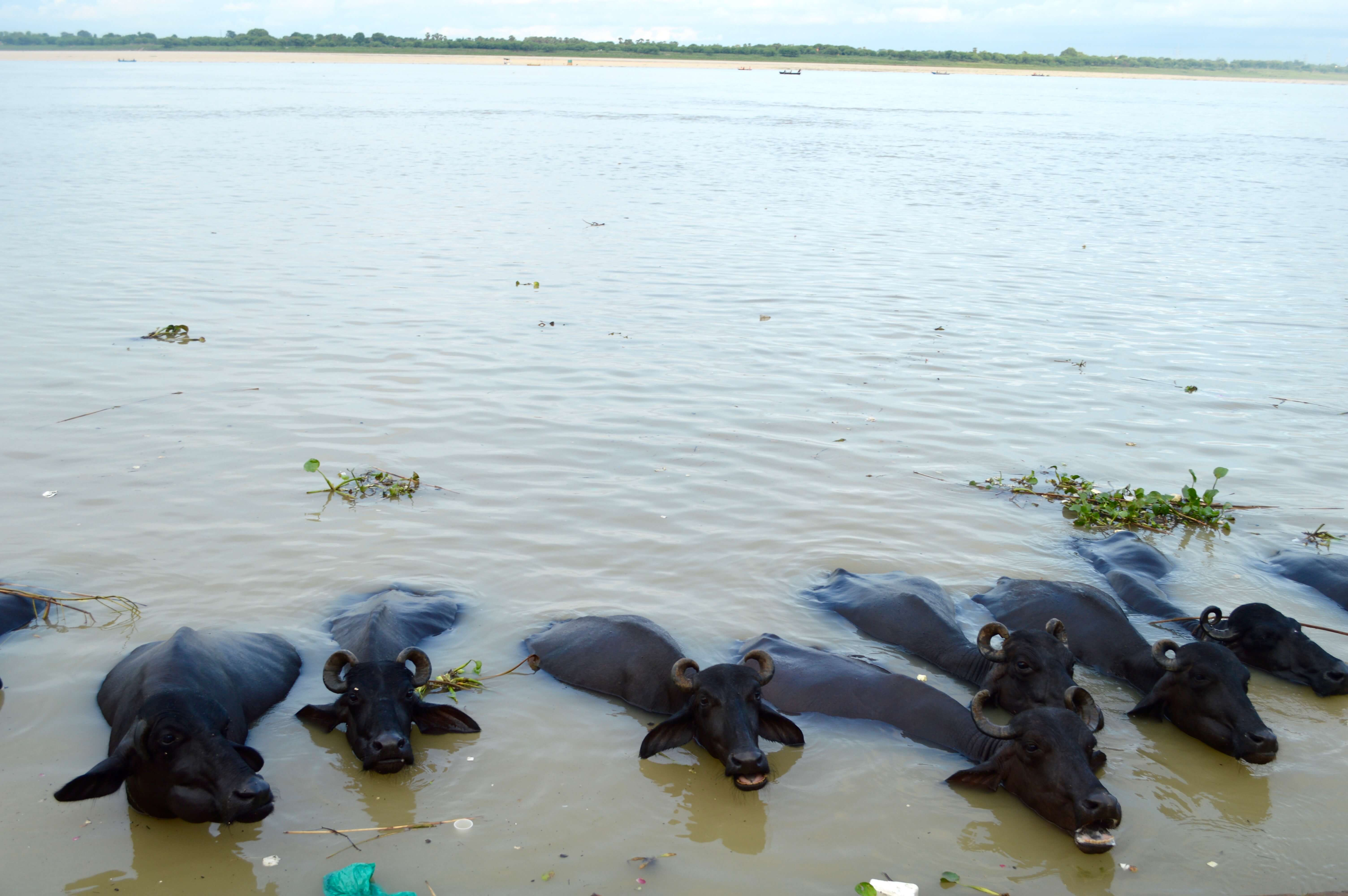 A line of water buffalo relaxing in the water of the Ganges River