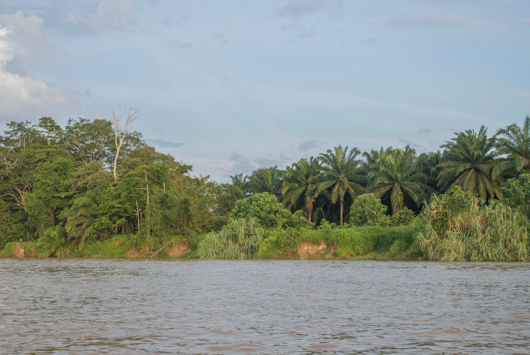 When the palm oil plantation meets the jungle on the side of the river