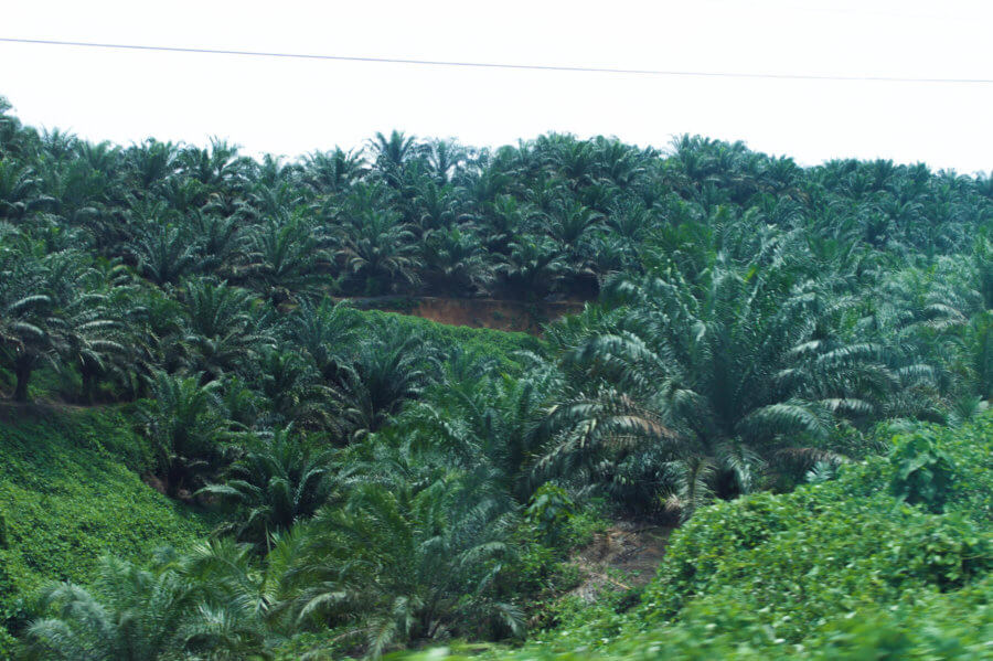 PALM OIL DESTRUCTION, DEGRADATION AND DEVASTATION