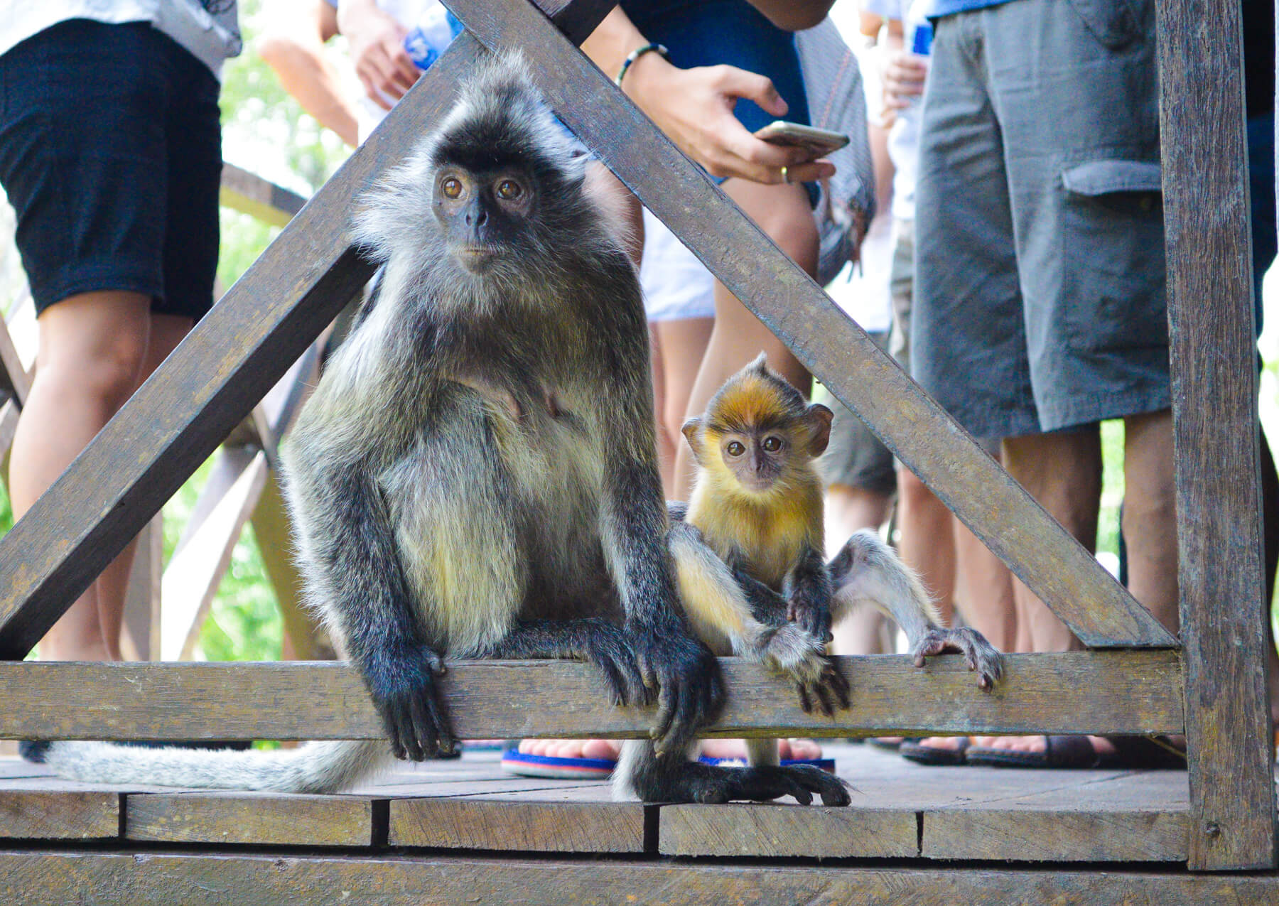 A silver leaf monkey and baby sitting on a railing